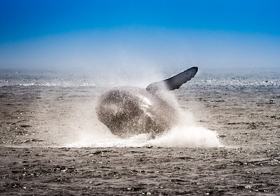 Humpback whale breaches.