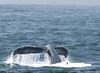 Barnacled tail of a humpback whale (Megaptera novaeangliae) .