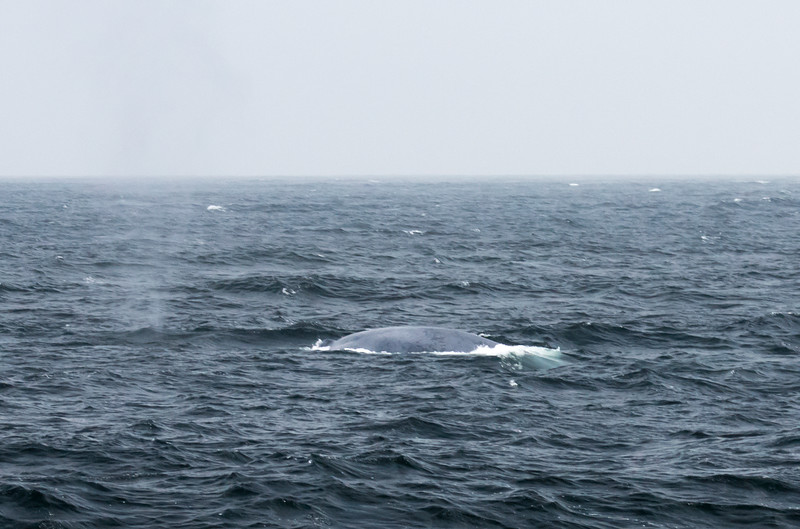 Fleeting glimpse of a Blue Whale  (Balaenoptera musculus), the largest animal to have ever existed.