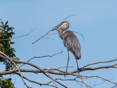 Huntley Meadows Birds 4 Sept 2017-6168