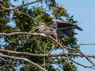Huntley Meadows Birds 4 Sept 2017-6172