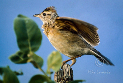 R 494 Rufous-naped Lark