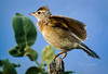 (R 494) Rufous-naped Lark