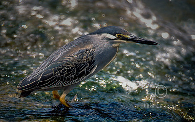 (R 074) Green-backed Heron