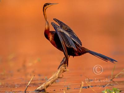 (R 060 ) African Darter