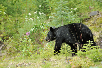 Wildlife Viewing Area, Hyder Alaska, Aug 2008  Black Bear