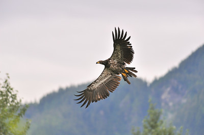 Wildlife Viewing Area, Hyder Alaska, Aug 2008  Bald Eagle