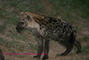 Young hyaena Kruger Park South Africa
