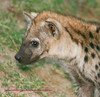 Young hyaena. The young ones look cute, the older ones not so much. Kruger Park South Africa