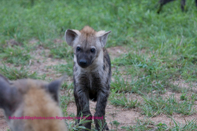 Young hyaena walking toward an older but not adult member of the pack. Kruger Park South Africa