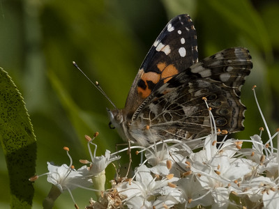 Painted Lady Butterfly (Vanessa cardui) on California Buckeye