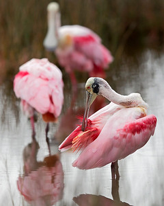Roseate Spoonbills are in abundance at Merritt Island Wildlife Refuge,  they were very active for early December.