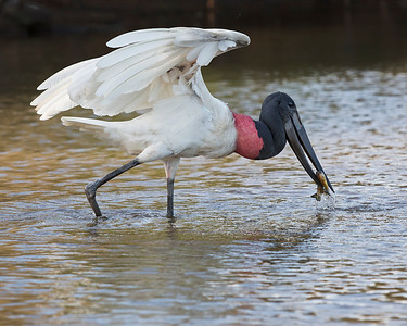 Jabiru Stork,  Captures a piranha in Brazil.