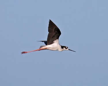 Black-necked Stilt, Merritt Island National Wildlife Refuge.