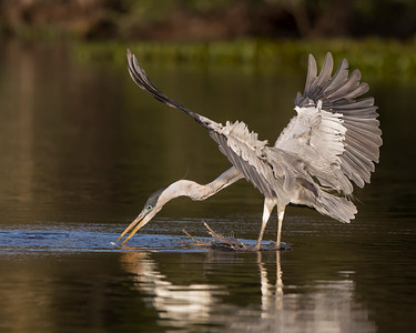 White-Necked Heron ~  Like it's cousin the Great Blue Heron,  Diving on a fish.