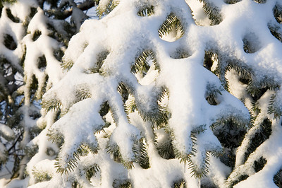 Snow collects on the branches of an evergreen tree following a snowstorm in Illinois
