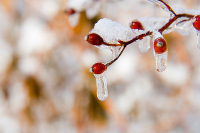 Icicles hang from the berries on a tree following an ice storm