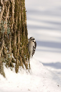 A downy woodpecker makes its way up a tree