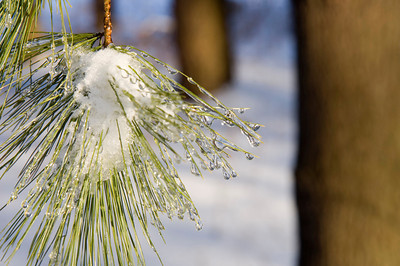 Ice forms on the branches of evergreen trees following a snowstorm in Illinois