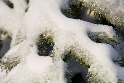 Snow and ice accumulate on evergreen branches following a winter storm in Illinois
