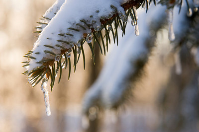 Snow and ice accumulate on the branches of an evergreen tree following a winter storm