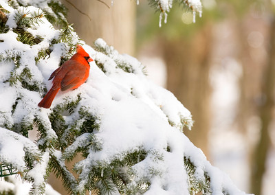 A cardinal sits in an evergreen tree following a snowstorm
