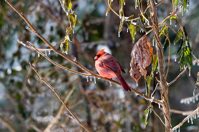 A cardinal sits in a tree following an ice storm.