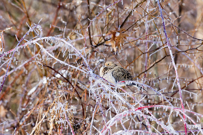 A mourning dove sits in a tree following an ice storm