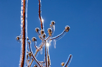 Ice coats the branches of plants and shrubs following a winter storm in Illinois