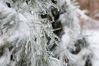 icicles form on the branches of an evergreen tree following a winter storm in Illinois