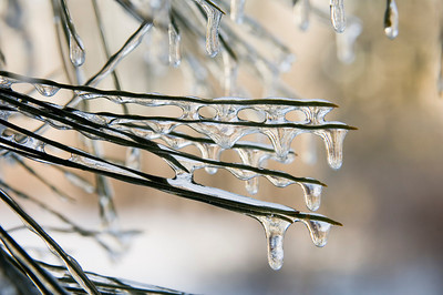 Icicles form on the pine needles of an evergreen tree following a winter storm in Illinois