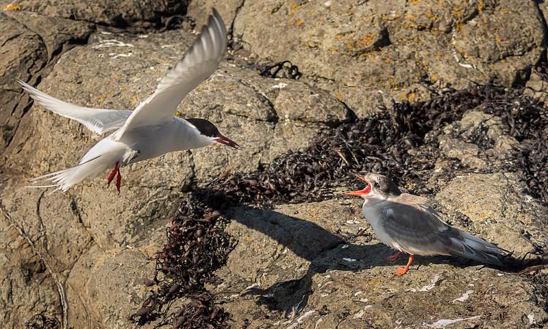 Flatey Island - Artic Tern Feeding Young