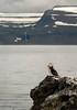 Vigur Island Puffin