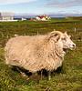 Flatey Island Sheep