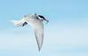 Flatey Island - Artic Tern