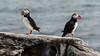 Vigur Island Puffins