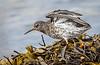 Vigur Island Redshank