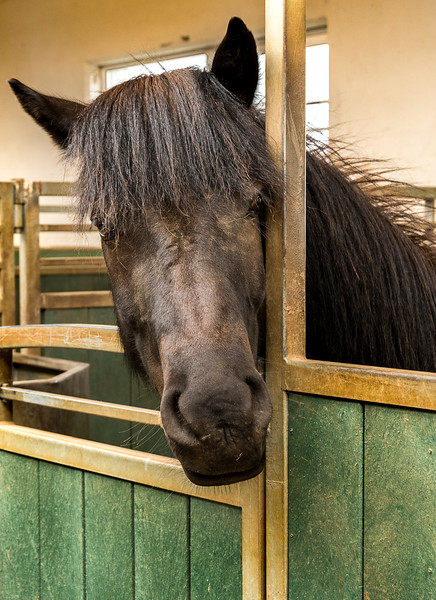 Icelandic Horses and Stables