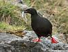 Vigur Island Black Guillemot