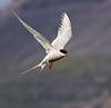 Vigur Island Artic Tern