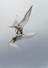 Vigur Island Artic Terns