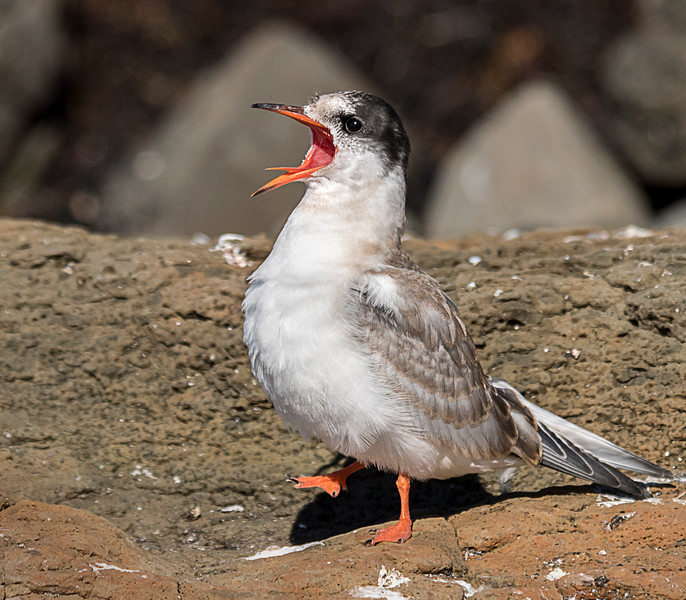 Flatey Island - Artic Tern Waiting for Food