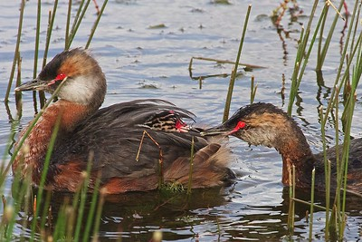 In Iceland, two Slavonian Grebes feed their two chicks.