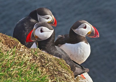Puffins come to Iceland to reproduce during the warm summer months.  Found in great numbers, especially at the cliffs in Latrabjarg, West Fjords