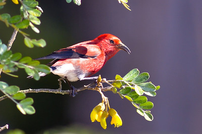Apapane, Honey creeper