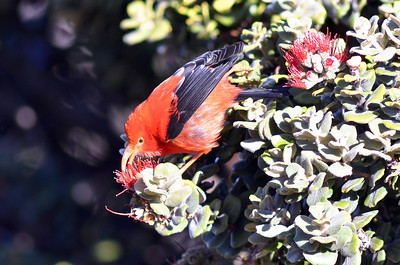 I'iwi, Hawaiian honey creeper