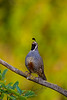 California or Valley quail, Callipepla californica, male, cock.  calling,