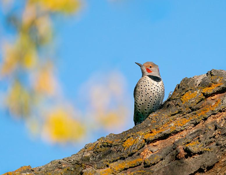 Birds, northern flicker, fall