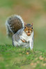 Mammals, rodents, squirrel, gray squirrel, autumn