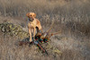 Hunting, upland bird hunting, pheasant hunting,  yellow pointing lab, Tanni, with roosters and shotgun